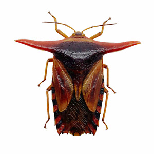 Entomology Shield Bug (Pygoplatys lancifer) Collector Indonesian Specimen Art