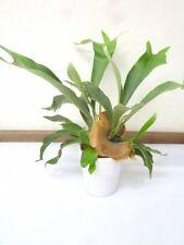 Geweihfarn 35 cm Platycerium  Zimmerpflanze Blumenversand