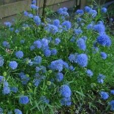 Gilia Capitata-(Queen Anne's Thimbles)- 100 Seeds