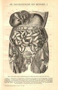 Stampa Antica 1898 = ORGANI INTERNI = MEDICINA Anatomia =  Old Print