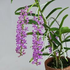 BIN-Micropera rostrata -Easy to grow! collector's item! Fragrant! Long Lasting