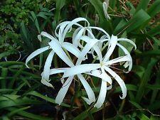 Crinum Lily, Americanum, small-size bulb - aquatic