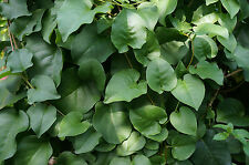 Madeira Vine, Lamb's Tail, Mignonette Vine, Boussingaultia baselloid. Herb plant
