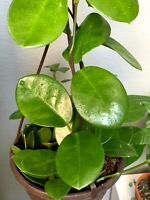 Hoya Australis or Wax Plant - Indoor Plant Bare root , Hanging Plant