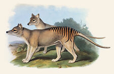 John Gould Native Animal print Tasmanian Tiger painting Vintage A3  Australia