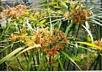 Winterhartes Zypern Gras -cyperus glaber- Saatgut  -Mengenauswahl-