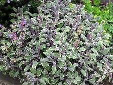 Common Sage 'Tricolor' Salvia officinalis 'Tricolor' aromatic herb 9cm pot