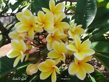 "Rare!  Nebel'S Gold Rooted Cutting Plumeria Plant - 16"" -  3 Tips"