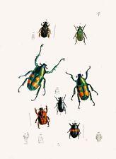 """Riproduzione insetto stampa da """"Il Gabinetto del Oriental entomologia' #018"""