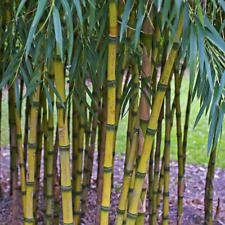 Chusquea gigantea | Extremely Rare Bamboo Species | Fresh Seeds: Select Quantity