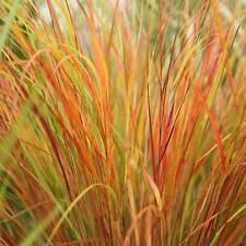 STIPA ARUNDINACEA, Pheasant Tail Grass - 100 Seeds - Hardy Perennial
