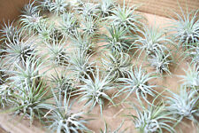 "6 Pack of Beautiful Little Airplant Tillandsia Ionantha Quality Air Plant 2""."
