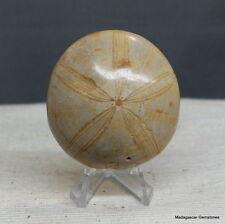 "2.12"" Amazing Petrified Fossil Sand Dollar Sea Biscuit Urchin Reiki Stone, Sdl31"