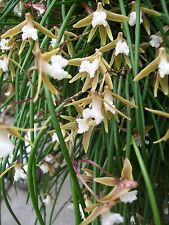 Orchid - Dockrillia striolata