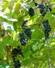15 graines de VIGNE DES RIVAGES (Vitis Riparia)H462 RIVERBANK GRAPE SEEDS SAMEN