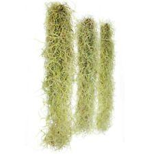 Spanish Moss Live Organic Oak Tree Fresh decorative floral craft Air Plant dried