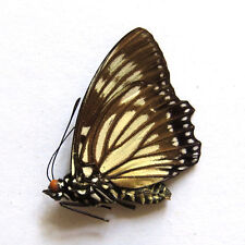 unmounted butterfly nymphalidae euripus nyctelius China guangxi A1-