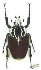 Goliath Käfer Set X 1 Stecker Riesige Halterung Entomologie
