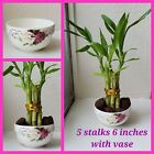 Lucky Bamboo Arrangement 5 stalks 6 inches with Vase, Gift, Feng Shui. Perennial
