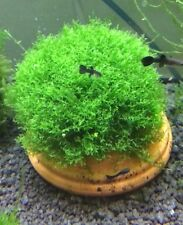 Mini Pellia Ricardia Chamendryfolia Live Aquarium Plants for fish / shrimp tank