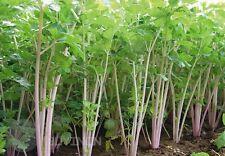 Red celery seeds Vegetable seed Apium graveolens organic heirloom home garden