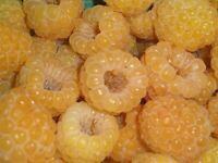 "Everbearing Fall Gold Raspberry Productive Live Plant - 2.5"" Pot"
