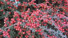 Cotoneaster lacteus 25 + Graines. superbe automne et hiver baies rouges