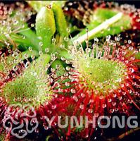 100 PCS Seeds Drosera Burmanni Plants Bonsai Potted Terrace Garden Carnivorous B