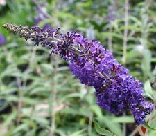 Summer Light Flowering Shrubs & Hedges
