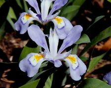 5 Dwarf crested iris Iris Cristata  NATIVE WOODLAND WILDFLOWERS BULB ROOT STOCK