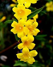 Carolina Jessamine Live Plants Yellow Flower
