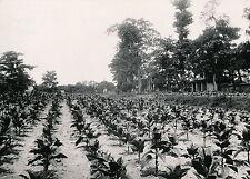 INDOCHINE c. 1935 - Culture du Tabac - DIV 7018