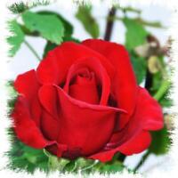 DOLLY PARTON HARDY Red Hybrid Tea Rose Huge Bush Fragrant Roses Hardy