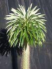 Pachypodium Lamerei 5 SEEDS Rare Cactus Caudex Succulent Plant Madagascar