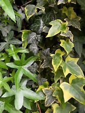 3 Ivy Combo: Organic Live Usa English + Variegated + Asterisk Ivy Cuttings