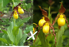 Cypripedium parviflorum X pubescens in-vitro seedlings