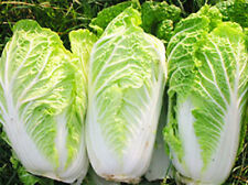 CABBAGE Chinese Vegetable Bok Choy Seeds 3,700+ Organic Seeds