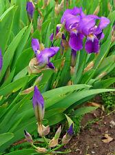 Poudre d'Iris - exfoliant naturel - deodorant - fixateur de parfum - 30 grammes