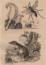 Pennatula (sea pen). Pepsis (tarantula hawk). Péraméle (Bandicoot) 1834 print