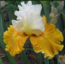 "TALL BEARDED IRIS GERMANICA ""TOUR DE FRANCE"" Delivery August - early September"