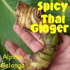 ~HOT & SPICY THAI GINGER~ Alpinia Galanga LIVE SPICE Galanga Bare Root RHIZOME