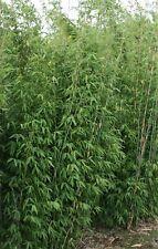 Hoher Bambus - Fargesia Xian 2 - keine Wurzelausläufer - immergrün - im Topf