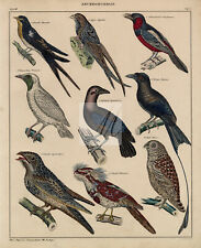 BIRDS - Swallows, Banded Broadbill, Nightjar - Antique Colored Lithography #B390