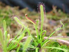 Anglais Droséra Drosera anglica 20 fresh seeds Hardy plante carnivore