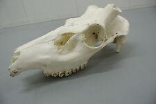 Red Deer Stag (Cervus elaphus) Skull Taxidermy Science Collectible Trophy II