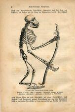 1882 Orangutan Skeleton Ape Monkey Antique Engraving Print Martin