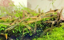 6 X AMANO SHRIMP Perfect shrimps for removing algae from tank Size Approx 2-3 cm