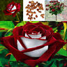 100pcs Beautiful Red & White Osiria Ruby Rose Flower Seeds Home Garden Plant
