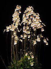 Tolumnia variegata miniature Orchid Plant