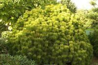 Pinus mugo Ophir - Gelbe Zwergkiefer, Bergkiefer Ophir -
